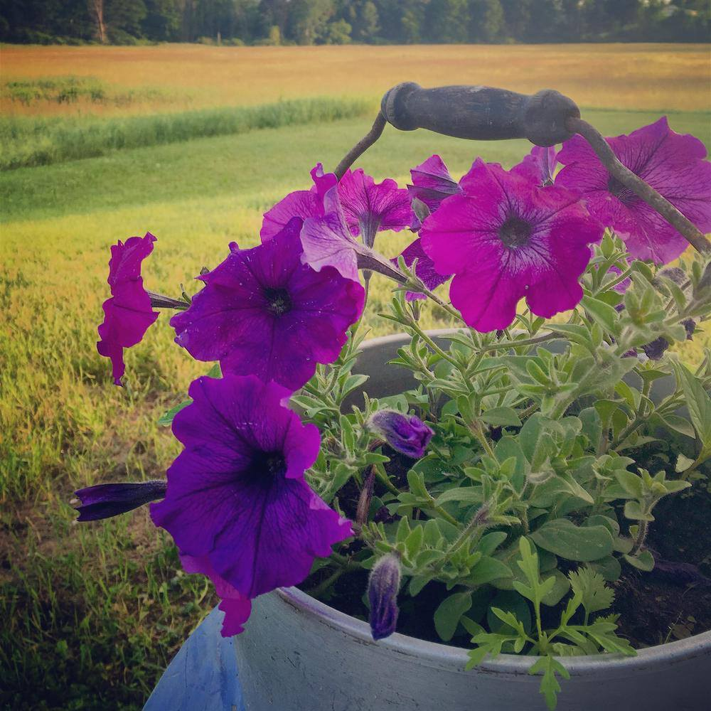 Volunteer Arugula and Cilantro growing in the potted petunias