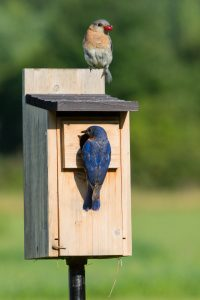 Male and female bluebirds at the nest